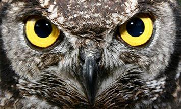 owl big eyes